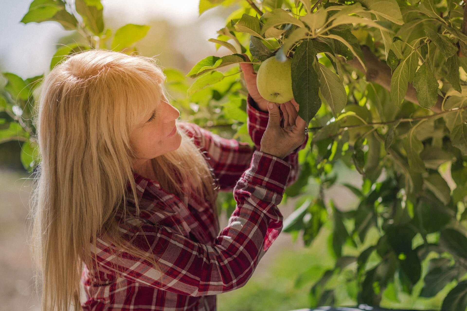 Dojrzała kobieta zrywająca jabłko